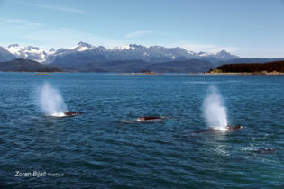 Powerful Submarines On The Surface - Group Of Huge Humpback Whales Near Juneau, Alaska USA