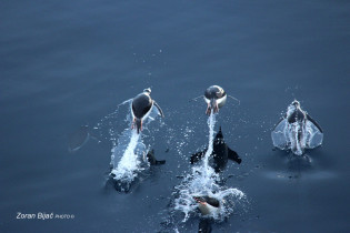 Gentoo Penguins Right In Action