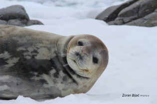 Lazy And 'Tired' Weddell Seal, Antarctica
