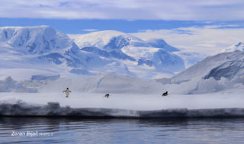 Adelie Penguins Playful Team, Antarctica