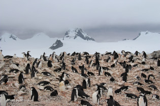 Chinstrap Penguins Collony, Antarctica