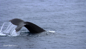Humpback Whale Is Looking For Krill, Antarctica