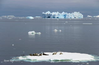 Seals On The Vacation, Antarctica