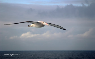 Great Wandering Albatross, Drake Passage - Antarctica