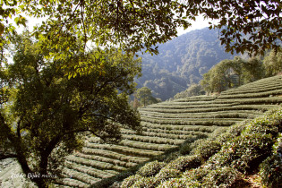 Green Tea Fields, China