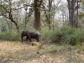 Elephant In Casual Stroll, Karnataka, India