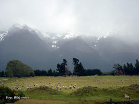 Lambs On Pasture Near Glenorchy, South Island, New Zealand