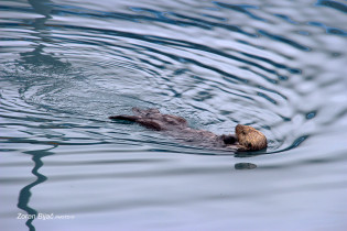 Otter At Relaxing Backstroke Stile in Prince William Sound, Alaska, USA