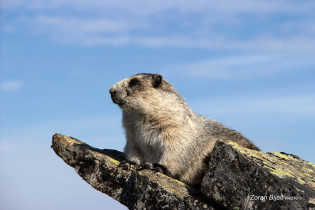 Relaxed Ground Squirrel, Denali, Alaska, USA