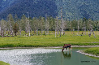 Thirsty Female Moose, Alaska, USA