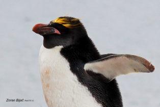 Unkempt Macaroni Penguin, Antarctica