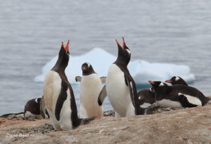 Who Can Be Louder?, Gentoo Penguins, Antarctica