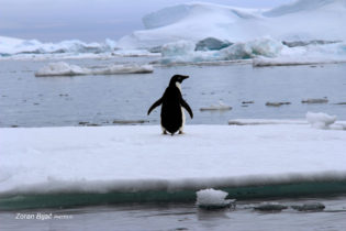 Should I Stay Or Should I Go?, Adelie Penguin, Antarctica