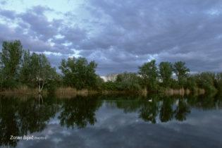 Swan In The Quiet Cruising On The Lake Soderica Near Koprivnica, Podravina, Croatia