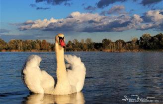Alpha Female Swan On Lake Soderica Near Koprivnica, Podravina, Croatia; Alfa Ženka Labuda Na Šoderici Pored Koprivnice, Podravina, Hrvatska