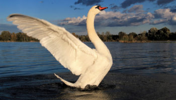 New – Swan Lake Soderica (49)