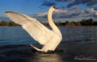 Swan Lake Soderica Near Koprivnica, Podravina, Croatia; Labud Na Labuđem Jezeru Šoderici, Podravina, Hrvatska