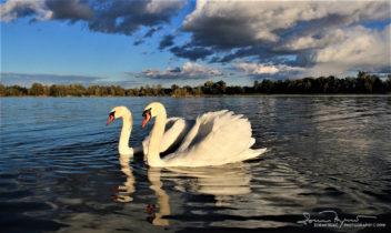 Couple Swans In Love At The Afternoon Walk, Swan Lake Soderica Near Koprivnica, Podravina, Croatia; Zaljubljeni Par U popodnevnoj Šetnji, Labudovi Na Šoderici Pored Koprivnice, Podravina, Hrvatska