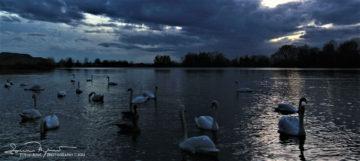 Swan Lake Soderica Near Koprivnica, Podravina, Croatia; Labudovi Na Šoderici Pored Koprivnice, Podravina, Hrvatska