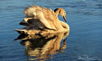 Youngster, Swan Lake Soderica Near Koprivnica, Podravina, Croatia; Mladi Labud Na Jezeru Šoderici Pored Koprivnice, Podravina, Hrvatska