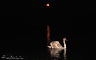 A Lone Sleep-Swimmer, Lake Soderica Near Koprivnica, Podravina, Croatia; Mjeseča, Labud Na šoderici Pored Koprivnice, Podravina, Hrvatskar