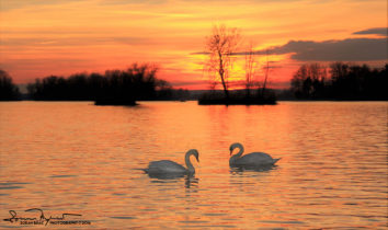 Couple In Love, Sunset Over Swan Lake Soderica, Podravina, Croatia; Zaljubljeni Par Labudova Na Šoderici, Podravina, Hrvatska