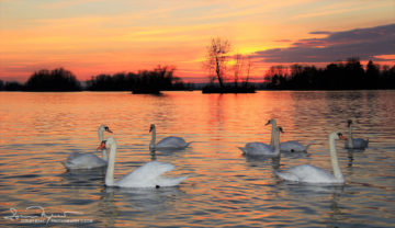 Sunset Over Swan Lake Soderica, Podravina, Croatia; Zalazak Sunca i Labudovi Na Šoderici, Podravina, Hrvatska