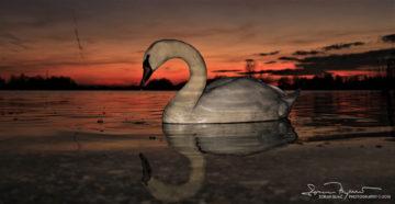 Mirror, Swan Lake Soderica, Podravina, Croatia; Labud Pred Ogledalom, Labuđe Jezero Šoderica, Podravina, Hrvatska