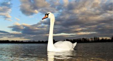 Sky Scraper, Swan Lake Soderica Near Koprivnica, Podravina, Croatia; Labud Neboder, Labuđe Jezero Šoderica Pored Koprivnice, Podravina, Hrvatska