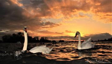 Sailing Through Rough Podravinian Sea, Sunset Over Swan Lake Soderica, Podravina, Croatia; Plovidba Nemirnim Podravskim Morem, Labudovi Na Jezeru Šoderica, Podravina, Hrvatska