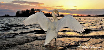 Salute To Sun At Departure, Sunset Over Swan Lake Soderica, Podravina, Croatia; Pozdrav Suncu Na Odlasku, Labud Pred Zalazak Sunca Na Šoderici, Podravina, Hrvatska