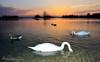 Divers, Sunset Over Swan Lake Soderica, Podravina, Croatia; Ronioci, Labudovi Na Šoderici, Podravina, Hrvatska