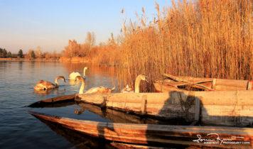 Shadows, Swan Lake Soderica, Podravina, Croatia; Sjene, Labudovi Na Šoderici Pored Koprivnice, Podravina, Hrvatska