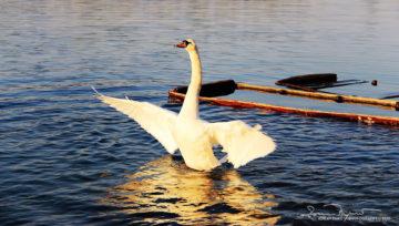 Escape From Titanic, Sunset Over Swan Lake Soderica, Podravina, Croatia; Bijeg S Titanika, Labud Na Šoderici Pred Zalazak Sunca, Podravina, Hrvatska