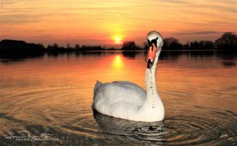 Face To Face, Sunset Over Swan Lake Soderica, Podravina, Croatia; Licem U Lice, Labud Na Šoderici, Podravina, Hrvatska
