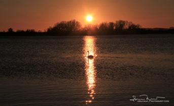 A Lone Rider, Sunset Over Swan Lake Soderica, Podravina, Croatia; Usamljeni Jahač, Labud Pred Zalazak Sunca Na Jezeru Šoderica Pored Koprivnice, Podravina, Hrvatska