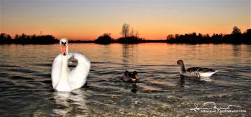Trio Fantastico, Sunset Over Swan Lake Soderica, Podravina, Croatia; Trio Fantastikus, Labud, Patka I Guska Pred Zalazak Sunca Na Šoderici, Podravina, Hrvatska