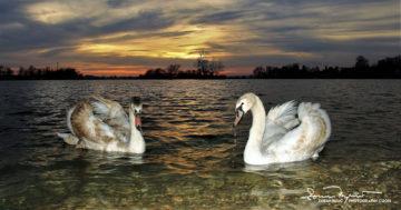 Thirsty Brothers, Sunset Over Swan Lake Soderica, Podravina, Croatia; Žedna Braća, Labudovi I Zalazak Sunca Na Jezeru Šoderica, Podravina, Hrvatska