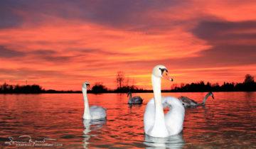 Sunset Over Swan Lake Soderica, Podravina, Croatia; Labudovi Pred Zalazak Sunca Na Labuđem Jezeru Šoderici Pored Koprivnice, Podravina, Hrvatska
