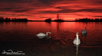Red Carpet, Sunset Over Swan Lake Soderica, Podravina, Croatia; Crveni Tepih Pred Labudovima Na Šoderici, Podravina, Hrvatska