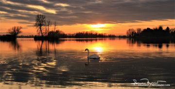 In Medias Res, Sunset Over Swan Lake Soderica, Podravina, Croatia; Labud IN Medias Res, Zalazak Sunca Na Jezeru Šoderica, Podravina, Hrvatska