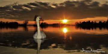 Sunset Over Swan Lake Soderica Near Koprivnica, Podravina, Croatia; Zalazak Sunca I Labud Na Šoderici Pored Koprivnice, Podravina, Hrvatska