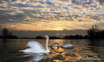 Golden Swimming, Sunset Over Swan Lake Soderica, Near Koprivnica, Podravina, Croatia; Zlatno Kupanje, Labudovi I Zalazak Sunca Na Jezeru Šoderica, Podravina, Hrvatska