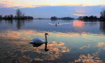 Cruising Through Golden Dust, Sunset Over Swan Lake Soderica, Podravina, Croatia; Plovidba Kroz Zlatnu Prašinu, Labudovi I Zalazak Sunca Na Šoderici, Podravina, Hrvatska