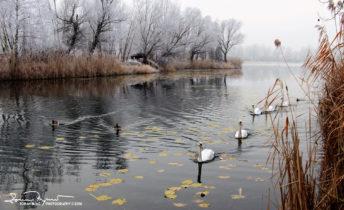 Late Autumn Misty Day At Swan Lake Soderica, Podravina, Croatia; Labudovi U Kasnojesenski Magloviti Dan Na Labuđem Jezeru Šoderica, Podravina, Hrvatska