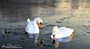 Two Icebreakers In The Mirror, Swan Lake Soderica Near Koprivnica, Podravina, Croatia; Dva Ledolomca U Ogledalu, Jezero Šoderica Pored Koprivnice, Podravina, Hrvatska