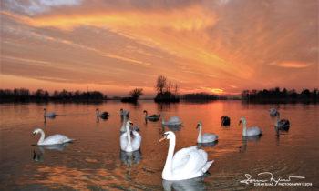 Hey Guys...Something Happens, Sunset Over Swan Lake Soderica, Podravina, Croatia; Dečki...Nešto Se Događa, Labudovi I Zalazak Sunca na Šoderici, Podravina, Hrvatska