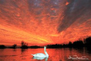 Apocalypse I, Amazing Sunset Over Swan Lake Soderica, Podravina, Croatia; Labud Promatra Nevjerojatan Zalazak Sunca Na Labuđem Jezeru Šoderica, Podravina, Hrvatska