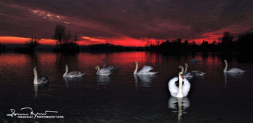 Time To Say Good Night, Nightfall Over Swan Lake Soderica, Podravina, Croatia; Vrijeme Za Počinak, Labudovi U Sumrak, Šoderica, Podravina, Hrvatska
