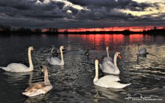 Crowd At Bedtime, Swans And Two Geese On Swan Lake Soderica, Podravina, Croatia; Gužva Pred Spavanje, Labudovi I Dvije Guske Na Labuđem Jezeru Šoderica, Podravina, Hrvatska